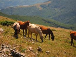 Wild horses on The Great Balkan Trail - Kom-Emine Bulgaria