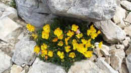 Yellow Poppy, Pirin Mountain