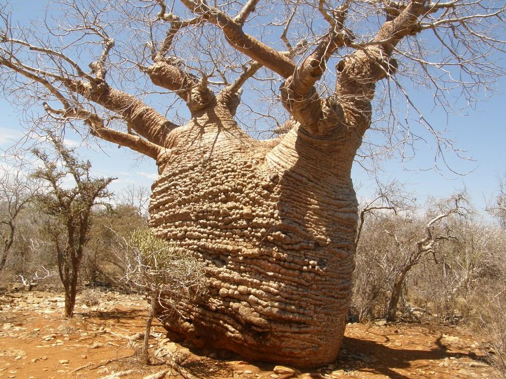 Madagaskar: Hjemsted For Verdens Største Baobabtræer